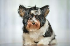 Attentive Yorkshire Terrier Stock Image