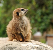 Attentive Young Meerkat Royalty Free Stock Photo