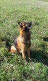 Attentively i czujny Niemiecki Pasterski pies zdjęcia stock