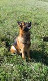 Attentivement et berger allemand attentif Dog Photos stock