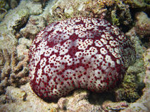 Attenui le stelle marine in barriera corallina delle Maldive Immagine Stock