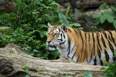 Attenzione della tigre Fotografie Stock