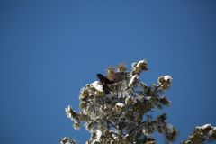 Atterraggio acerbo dell'aquila calva su un albero innevato immagine stock