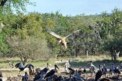 Atterraggio degli avvoltoi Fotografia Stock
