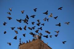 Atterraggio dei piccioni Immagine Stock Libera da Diritti