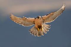 Atterraggio del falco di Lanner Fotografia Stock Libera da Diritti