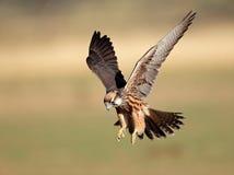 Atterraggio del falco di Lanner Fotografia Stock