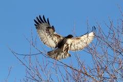 Atterraggio del falco munito rosso nell'albero con la diffusione delle ali (jamaice del Buteo Fotografia Stock Libera da Diritti