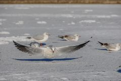 Atterraggio del gabbiano sul lago congelato fotografia stock