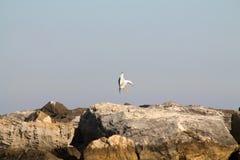 Atterraggio del gabbiano sulle rocce vicino al mare Immagine Stock