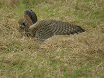 Atterraggio del gheppio sulla preda di ricerca a terra Immagini Stock Libere da Diritti