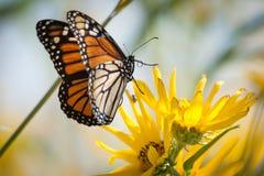 Atterraggio del monarca Fotografie Stock