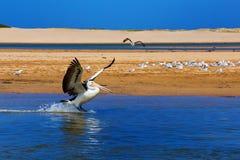 Atterraggio del pellicano sull'acqua Fotografia Stock Libera da Diritti