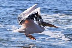 Atterraggio del pellicano sull'Oceano Atlantico fotografie stock