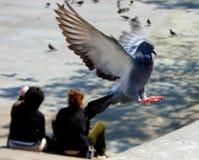 Atterraggio del piccione - alcuni diffondono visibile Fotografia Stock