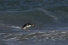 Atterraggio del pinguino di Gentoo sulla spiaggia Immagini Stock