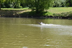 Atterraggio dell'anatra nel lago Fotografia Stock