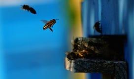 Atterraggio dell'ape sulla piattaforma dell'alveare Immagini Stock Libere da Diritti