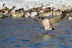 Atterraggio dell'oca del Canada in un fiume di inverno Fotografia Stock