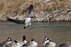 Atterraggio dell'oca del Canada in un fiume di inverno Immagine Stock Libera da Diritti