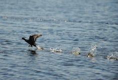 Atterraggio dell'uccello della folaga sull'oceano Immagine Stock
