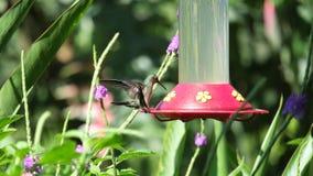 Atterraggio dell'uccello di ronzio Fotografia Stock Libera da Diritti