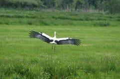 Atterraggio della cicogna bianca nel campo Fotografia Stock