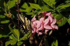 Atterraggio della farfalla di coda di rondine sulle azalee in fioritura fotografia stock