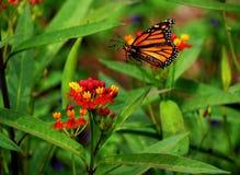 Atterraggio della farfalla su un fiore fotografia stock