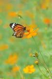 Atterraggio della farfalla sul fiore Fotografie Stock Libere da Diritti