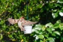 Atterraggio di domesticus del passante del passero sull'alimentatore dell'uccello del giardino immagini stock libere da diritti