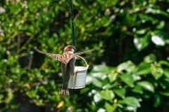 Atterraggio di domesticus del passante del passero sull'alimentatore dell'uccello del giardino immagini stock