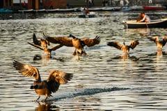 Atterraggio di Ducks sull'acqua Immagini Stock Libere da Diritti