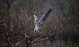 Atterraggio di Grey Heron su un albero immagini stock libere da diritti