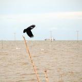 Atterraggio nero del corvo Fotografia Stock Libera da Diritti