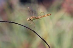 Atterraggio pronto della libellula fotografia stock libera da diritti