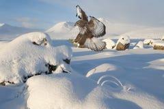 Atterraggio rosso del cervo volante Fotografie Stock