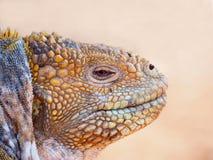 Atterri l'iguana (subcristatus) di Conolophus, Seymour Island del nord, isole Galapagos immagine stock libera da diritti