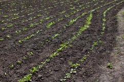 Atterri sul campo o nel giardino, i giovani raccolti verdi del germoglio, PS Fotografia Stock