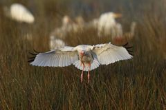 Atterrissage blanc d'IBIS dans un marais - réserve d'île de Merritt Photographie stock