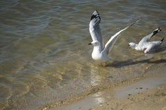 Atterrissage blanc de mouette dans l'estuaire l'après-midi d'été Photos stock