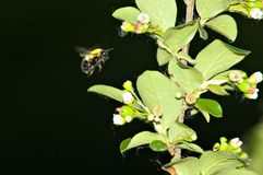 Atterrissage d'abeille Photo stock