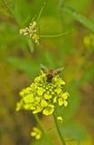 Atterrissage d'abeille de miel sur la fleur jaune Images libres de droits