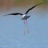 Atterrissage d'échasse à ailes par noir dans l'eau Photographie stock libre de droits