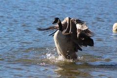 Atterrissage d'oie dans l'eau Photographie stock libre de droits