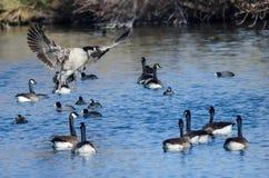Atterrissage d'oie de Canada parmi des amis sur l'eau bleue d'étang Image stock