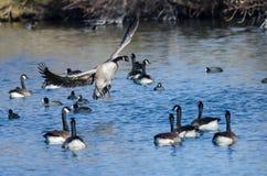 Atterrissage d'oie de Canada parmi des amis sur l'eau bleue encore d'étang Photo stock