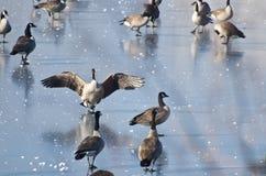 Atterrissage d'oie de Canada sur le lac congelé Photos libres de droits