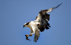 Atterrissage d'Osprey Image libre de droits
