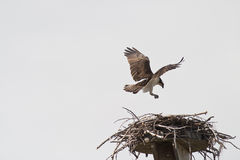 Atterrissage d'Osprey sur l'emboîtement Photo libre de droits